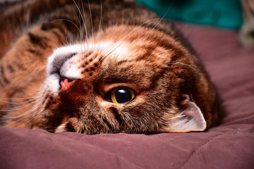 gato perezoso VETranking.com