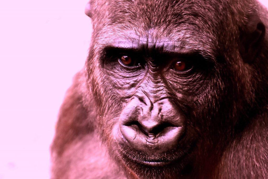 gorilla triste