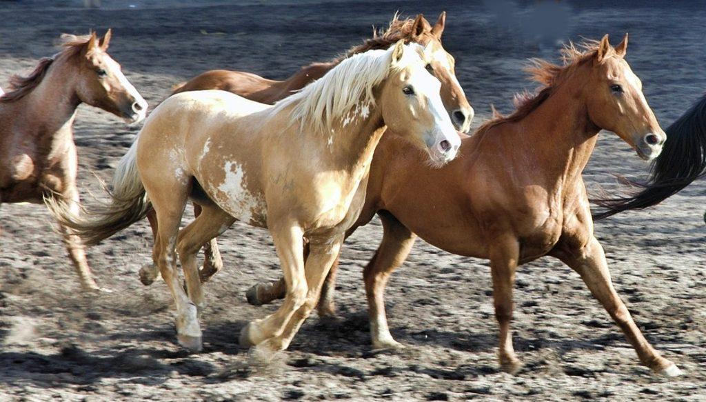 Sabías que... las extremidades del caballo han evolucionado para ...