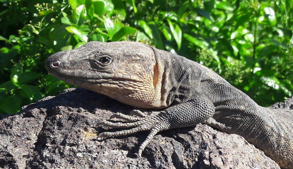 Ejemplar joven de lagarto gigante de Gran Canaria (Gallotia sthelini)
