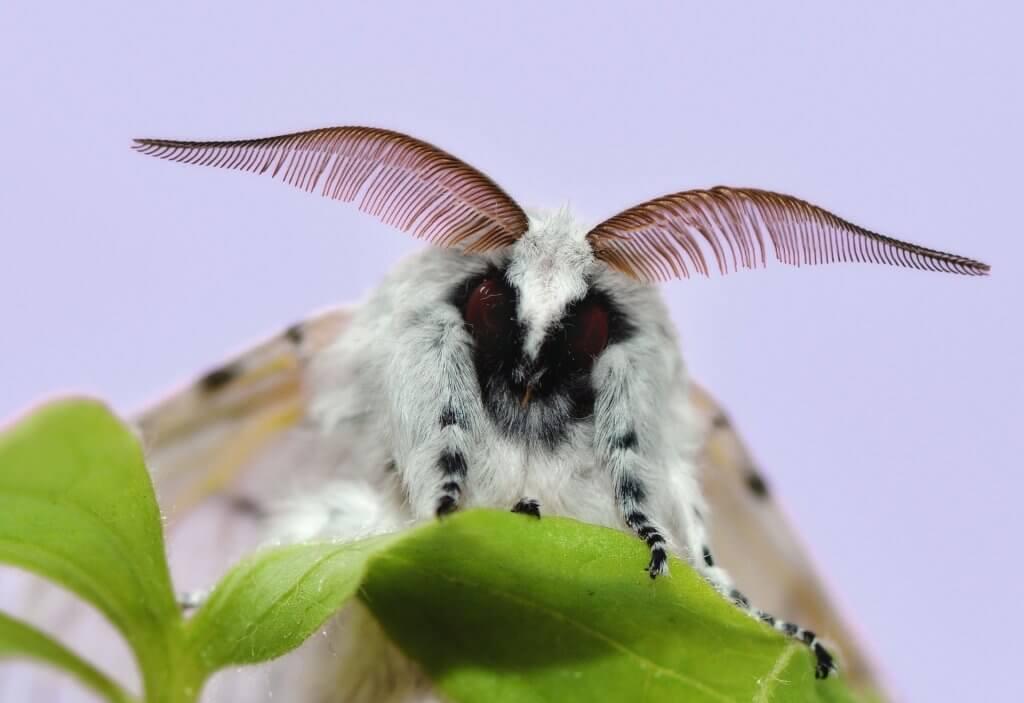 Polilla macho de Cerura vinula